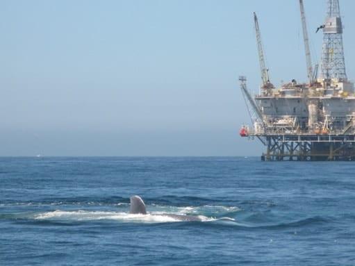 california grey whales